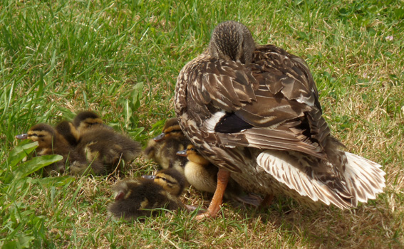 Mallard Chicks