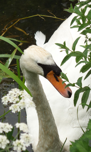 Swan song?