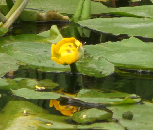Water Lily (canal)
